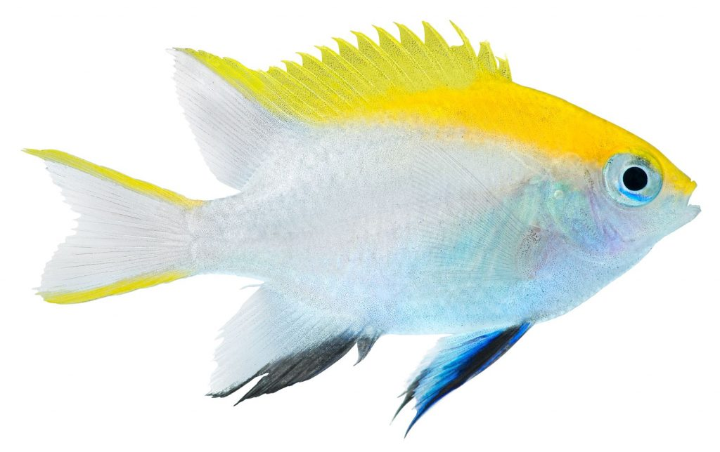 what to feed damselfish